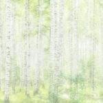 KP-0087   白樺のやさしさ