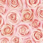 ピンクのバラの壁紙