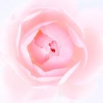KP-0120 Grace rose