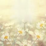 デイジーの花,花の壁紙