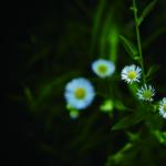 KP-0142 野菊の記憶